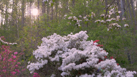 White, pink and red azalea flowers with lens flare in a forest setting against a Footage