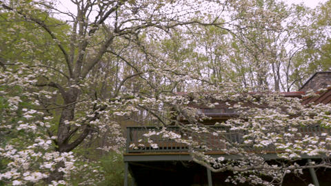 White dogwood blossoms during spring in front of a log cabin in the woods of ライブ動画
