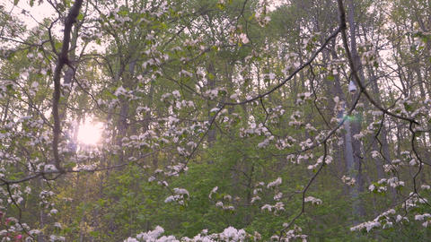 White dogwood and azalea flower blossoms in the springtime in a forest setting Footage