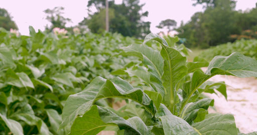 Healthy flowering tobacco plants in early July in Virginia Footage