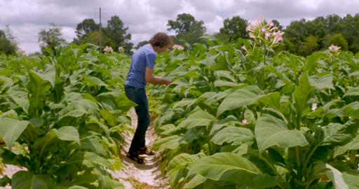 Man closely looking at flowering tobacco plants in a field Live Action