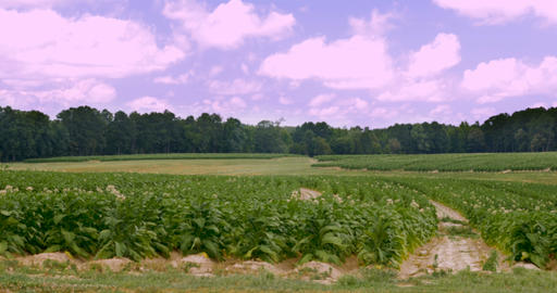 Rows of flowering tobacco fields in the hills of southern Virginia with a clear Footage