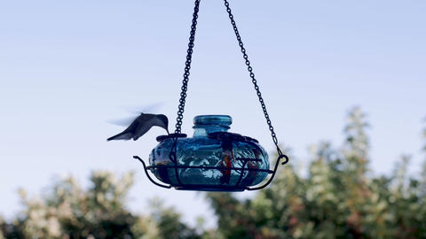 Violet crown hummingbird flying, eating, and swallowing at a feeder in slow Footage