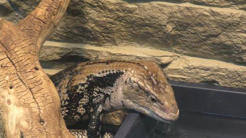 Blue-tongued lizard (LAT. Tiliqua scincoides) ビデオ
