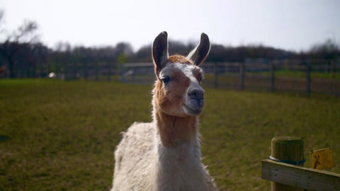 A brown and white llama in a field Live Action