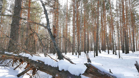 Dry tree in the snow. Winter forest. Slider Footage