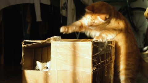 Two cats play in a cardboard box, 4k Footage
