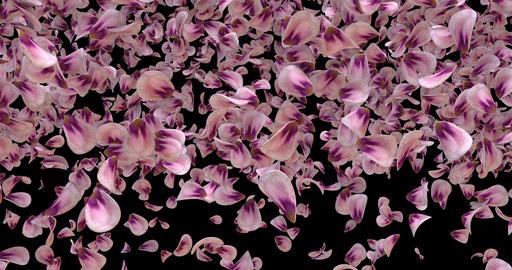 Flying Romantic Pink Rose Flower Petals Falling Transition Alpha matte Loop 4k Animation