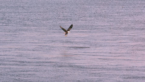 Bald eagle hovering over Footage