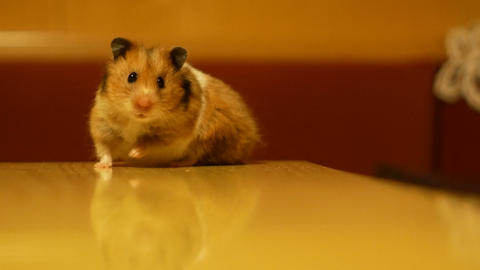 hamster turns free on a wooden table Footage