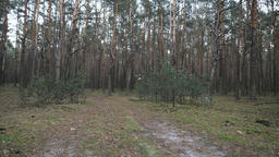Horizontal panorama of pine tree forest Footage