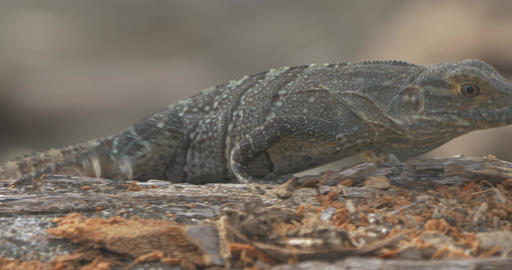 Black Spiny-Tailed Iguana, Costa Rica Footage
