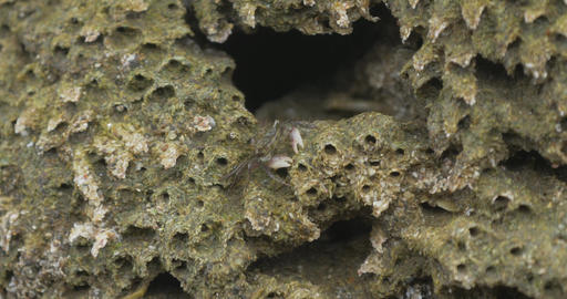Tiny Crabs Gathering Food, Costa Rica Footage