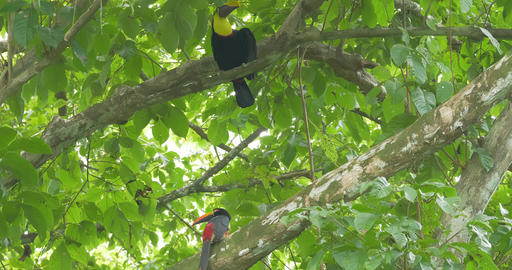 Collared Aracari And Swainson's Toucan In A Tree, Costa Rica Footage