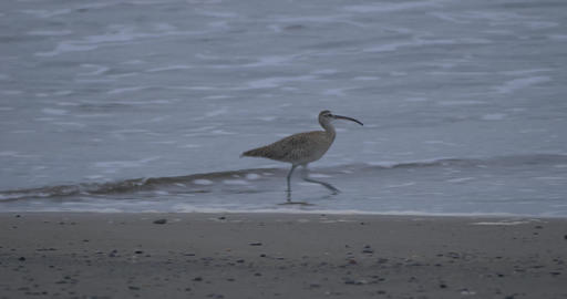 Whimbrel At A Beach In Costa Rica Live Action