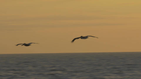 Brown Pelicans Flying At Sunset, Costa Rica Live Action