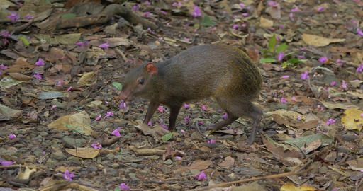 Central American Agouti, Gathering Food, Costa Rica Live-Action