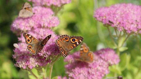 Beautiful butterflies Footage