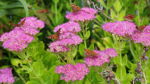 Butterflies feeding on nectar Footage