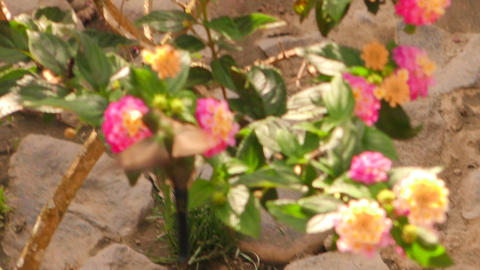 hummingbird feeding from flower pollen Footage