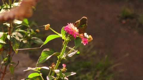 Colorful Hummingbird On A Flower In Natural Back Light Footage
