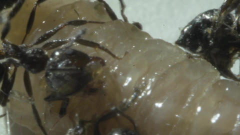 ants eat maggots, close-up,Slow Motion Footage