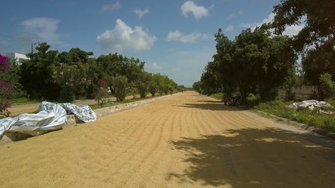 Rice Dried on Road among Green Trees under Blue Sky Footage