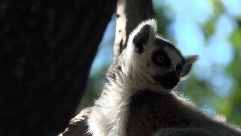 Ring tailed Lemur sits high up in a tree Footage