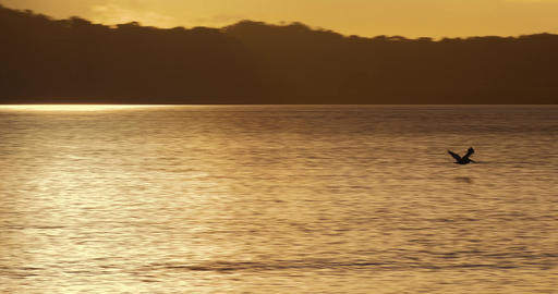 Brown Pelican Flying At Sunset, Costa Rica Live Action