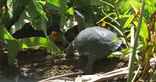 Big Turtle In The Bush, Costa Rica Footage