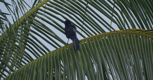Great-Tailed Grackle, Costa Rica Live Action