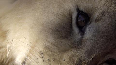 Close shot of a lion cub eye Live Action