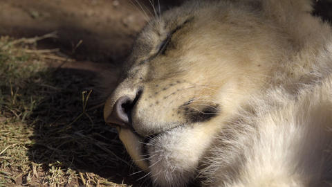 Lion cub sleeping in shade Live Action