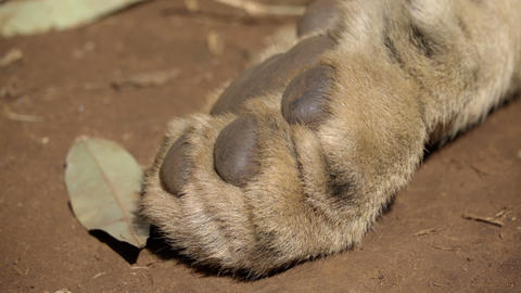 Front paw of a sleeping lion Live Action