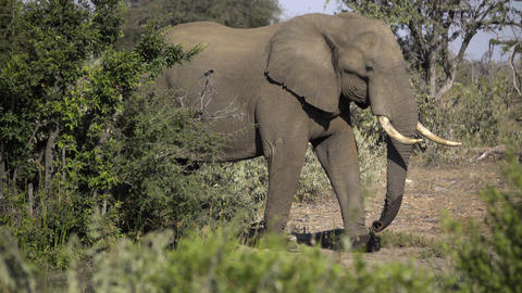 Mature bull elephant walking near waterhole ビデオ