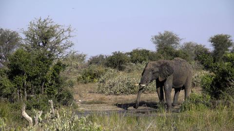 Elephants drinks from a waterhole Footage