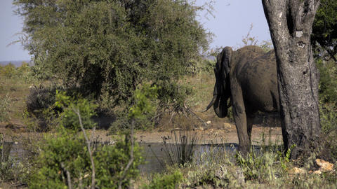Bull elephant behind a tree at a waterhole ビデオ