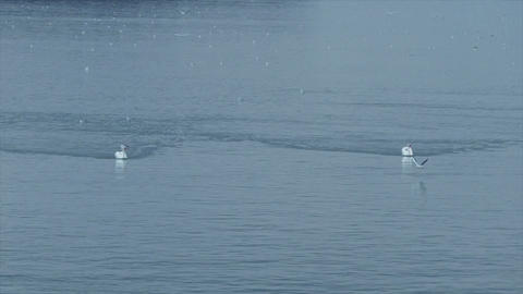 Swan swimming on the blue water of river Danube 영상물