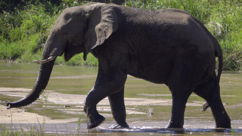 Close shot of an elephants body walking across a river Footage