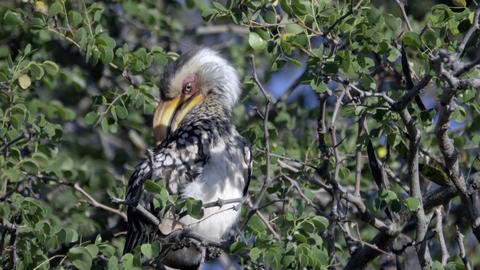 A preening Southern Yellow-Billed Hornbill Footage
