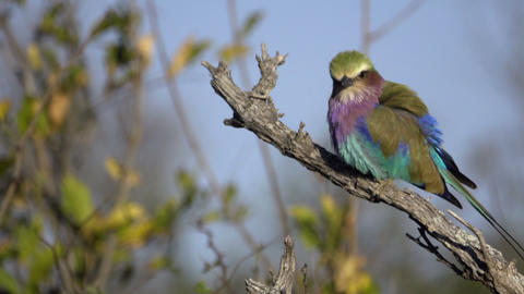 Profile of a Lilac-Breasted Roller perched on a branch Footage