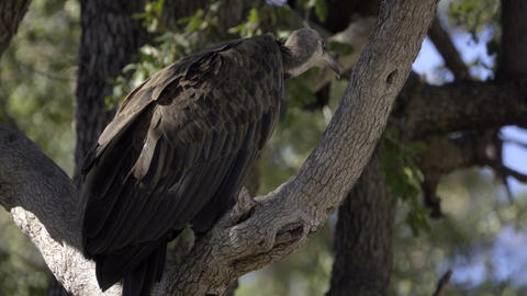 Hooded Vulture turned away from the camera Footage