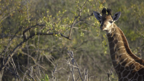 Healthy young Giraffe in Kruger Live Action