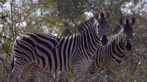 Two adult and one foal Zebra in the forest Live Action