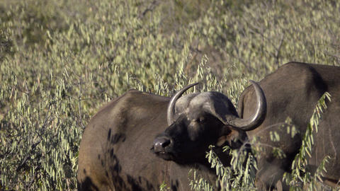 Cape Buffalo smelling for predators Live Action