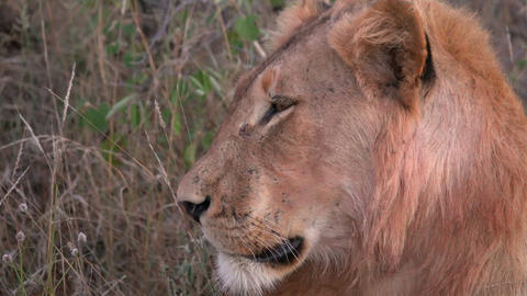 Side of a lions head Footage