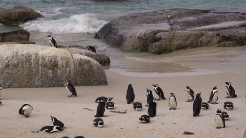 Small group or waddle of African penguins Live Action