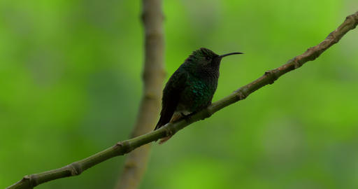 Hummingbird, Costa Rica Live Action