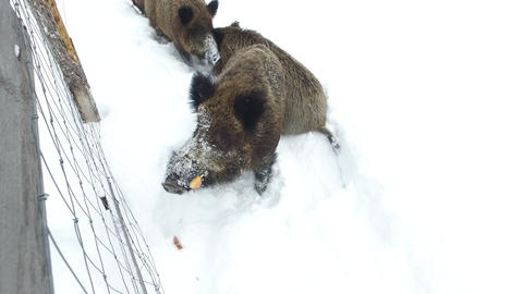 Wild boars on the snow in winter begging food Live Action