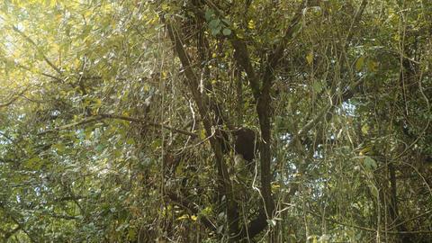 Black-Headed Spider Monkey, Costa Rica Footage